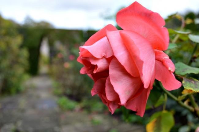 Thornbury garden rose