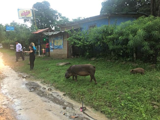 Pigs in Nicaragua